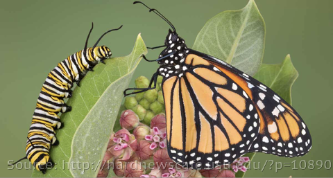 Monarch caterpillar and butterfly
